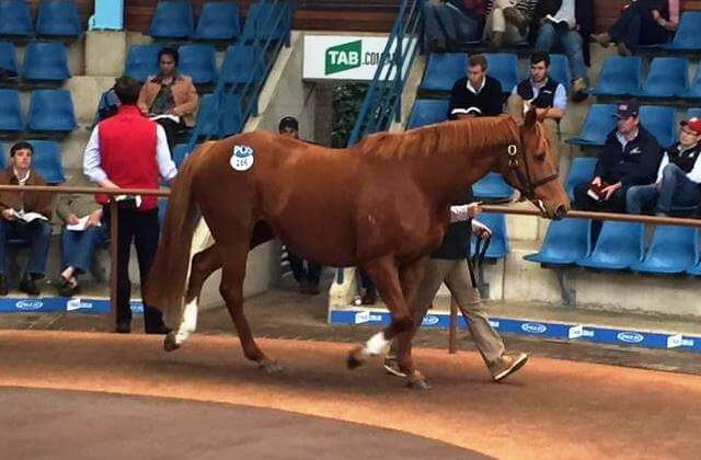 Broodmare buyers express confidence in Snitzel